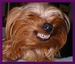 Yorkshire Terrier Kidney Failure Yorkshire terrier | sa...